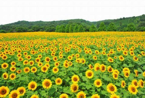 Kebun Bunga Matahari Instagramable Di Indonesia Cantik Cantik Masrafa Com